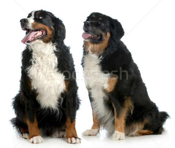 Dois grande cães bernese mountain dog tipo sessão Foto stock © willeecole