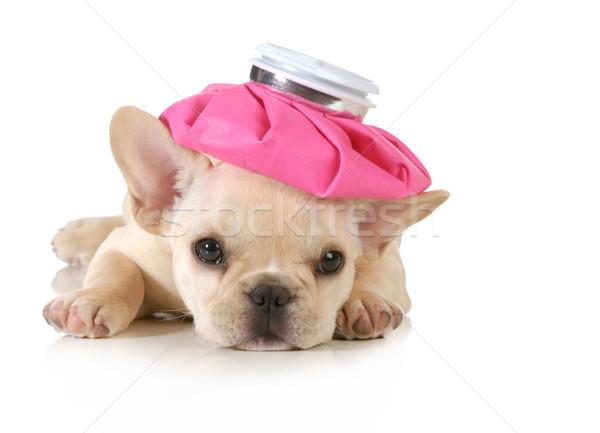 Chorych szczeniak francuski bulldog ciepłej wody butelki Zdjęcia stock © willeecole