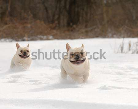 dog playing in the snow Stock photo © willeecole