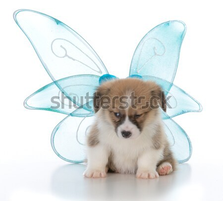 chinese crested puppy Stock photo © willeecole