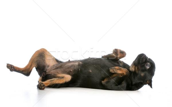 dog laying on back Stock photo © willeecole