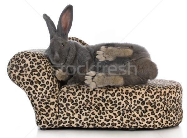 fancy bunny Stock photo © willeecole