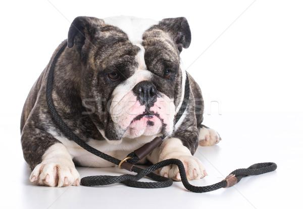 Hond riem bulldog Stockfoto © willeecole