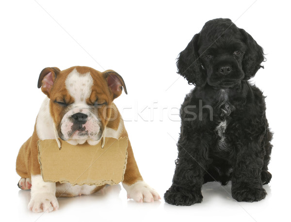 Iki yavru İngilizce buldok köpek yavrusu imzalamak Stok fotoğraf © willeecole