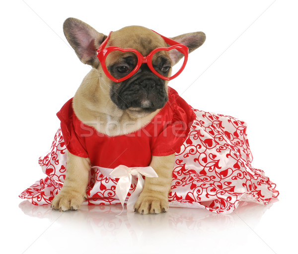 female french bulldog Stock photo © willeecole