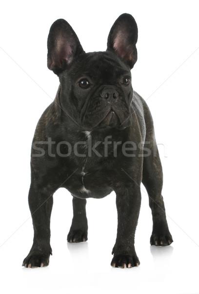 french bulldog Stock photo © willeecole