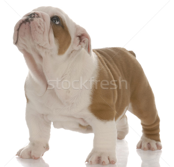 red and white english bulldog puppy standing looking up - seven weeks old Stock photo © willeecole
