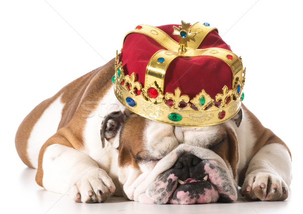 dog wearing crown Stock photo © willeecole