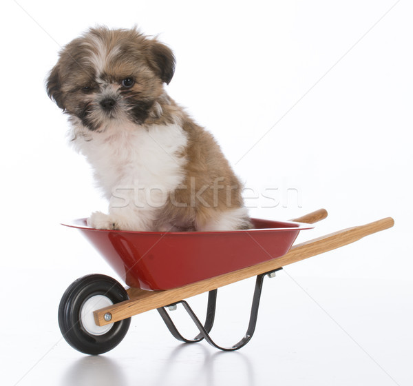 shih tzu puppy Stock photo © willeecole