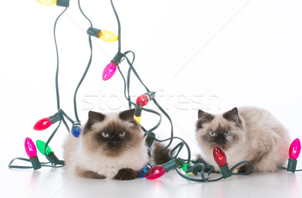 two christmas kittens Stock photo © willeecole