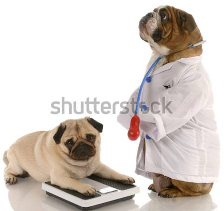 english bulldog dressed up as a doctor or veterinarian  Stock photo © willeecole