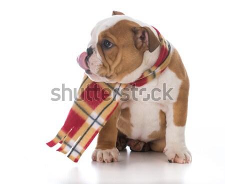 スポーツ ハウンド 英語 ブルドッグ 子犬 ストックフォト © willeecole