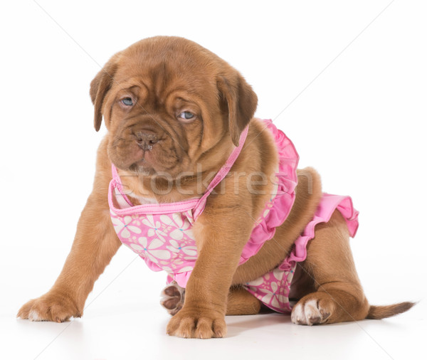 female puppy Stock photo © willeecole