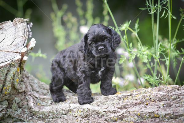 american cocker spaniel puppy Stock photo © willeecole