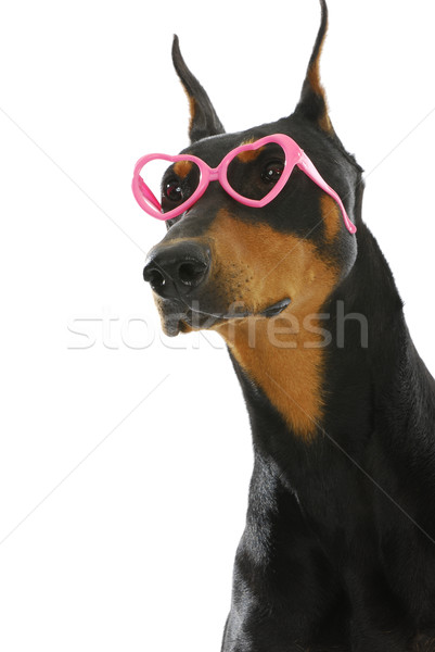 funky doberman Stock photo © willeecole