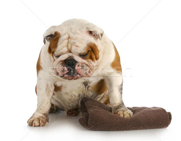 Rossz kutya sáros koszos angol bulldog Stock fotó © willeecole