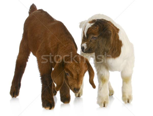 two baby goats Stock photo © willeecole