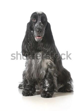 матери щенок щенков английский сидят глядя Сток-фото © willeecole
