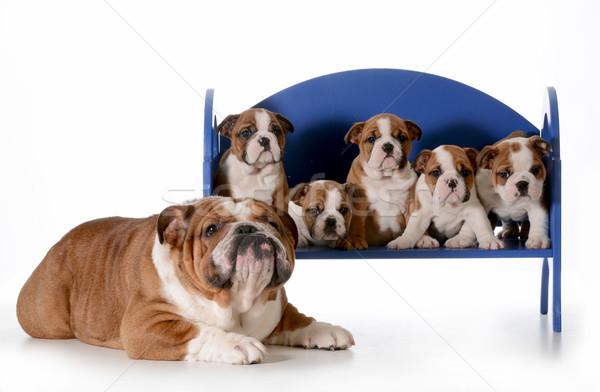 ストックフォト: 父 · 犬 · 子犬 · 家族 · 英語 · ブルドッグ