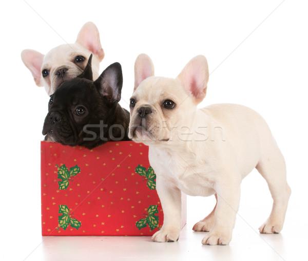 Stock fotó: Karácsony · kiskutyák · három · francia · szezonális · kutyakölyök