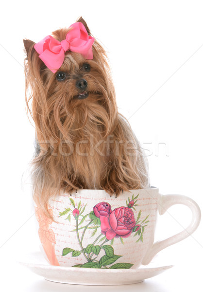 Cute yorkshire terrier dentro taza de té adorable Foto stock © willeecole