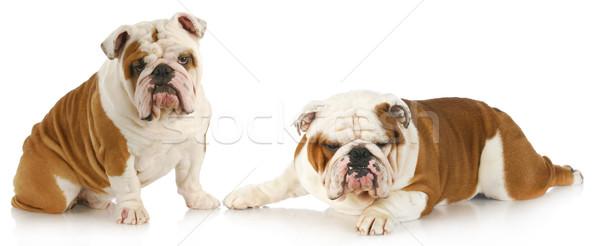 dog fight Stock photo © willeecole