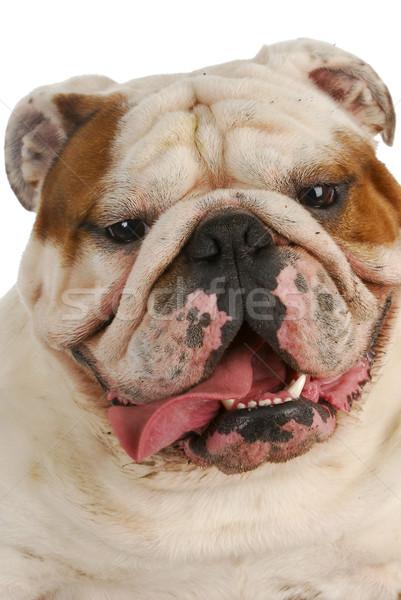 Koszos kutya boldog angol bulldog sáros Stock fotó © willeecole