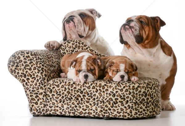 ストックフォト: ブルドッグ · 家族 · 2 · 子犬 · 寝 · ソファ