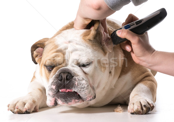 dog grooming Stock photo © willeecole