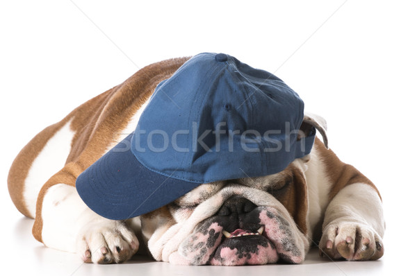 dog wearing baseball cap Stock photo © willeecole
