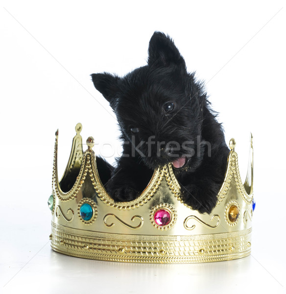 spoiled puppy Stock photo © willeecole