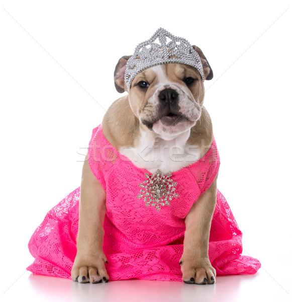 spoiled female dog Stock photo © willeecole