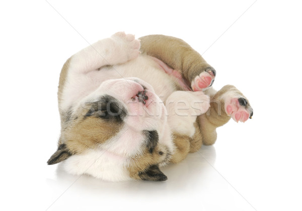 newborn puppy Stock photo © willeecole