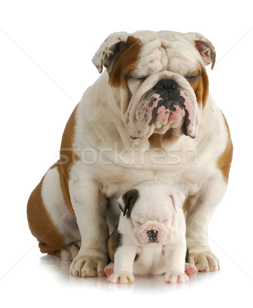 bulldog father and daughter Stock photo © willeecole