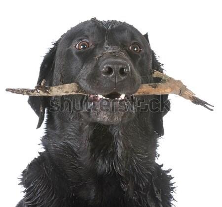 Stock fotó: Aranyos · kutyakölyök · kéz · tart · fekete · amerikai