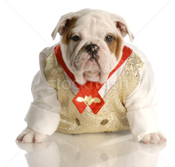 english bulldog puppy dressed up wearing shirt and tie Stock photo © willeecole