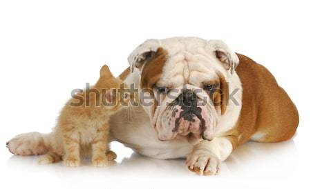 dog and cat Stock photo © willeecole
