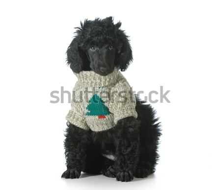 standard poodle Stock photo © willeecole