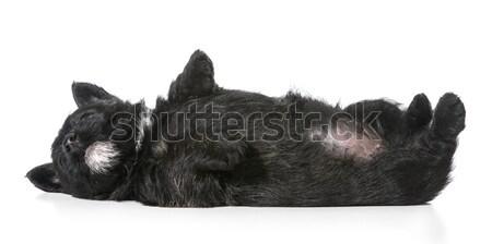 Cachorro de cabeça para baixo de volta terrier engraçado Foto stock © willeecole