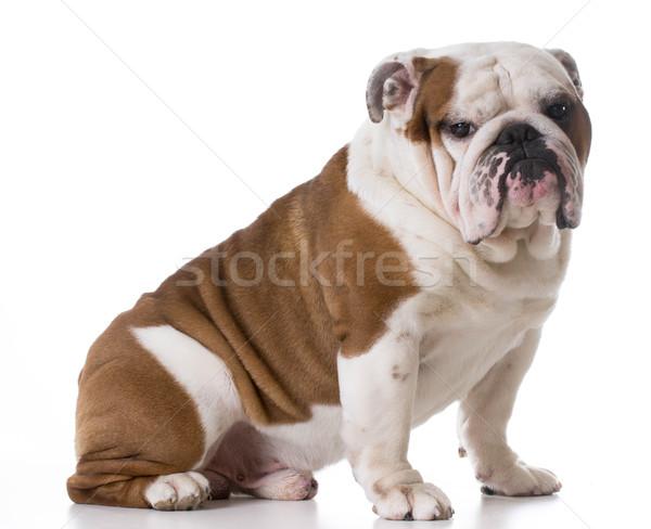 bulldog sitting Stock photo © willeecole