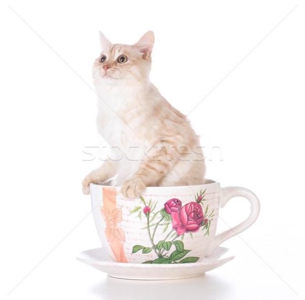 Kedi yavrusu çay fincanı beyaz çay fincan tek başına Stok fotoğraf © willeecole