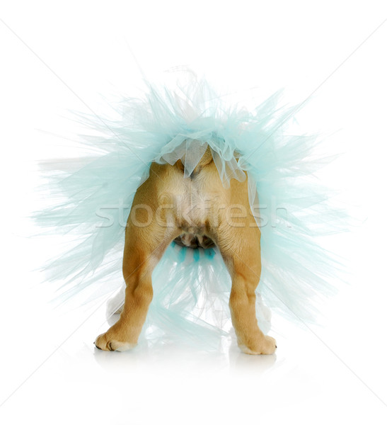 собака Бум английский бульдог синий Сток-фото © willeecole