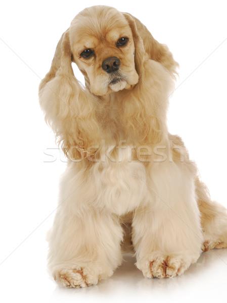 Foto stock: Bonitinho · cão · americano · sessão · reflexão · branco