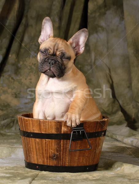 Foto d'archivio: Cute · cucciolo · francese · bulldog · seduta · lavare