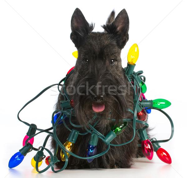 Christmas hond terriër kleurrijk lichten witte Stockfoto © willeecole