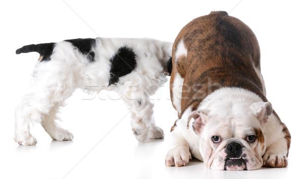 állat viselkedés egy kutya másik kutyák Stock fotó © willeecole
