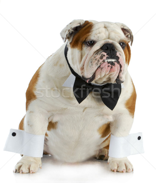 Stok fotoğraf: Yakışıklı · köpek · İngilizce · buldok · yukarı · siyah