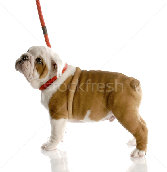 nine week old english bulldog puppy on a red leash Stock photo © willeecole