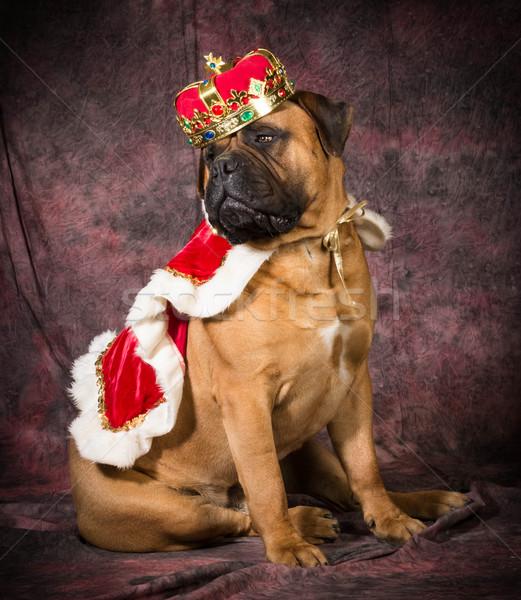 Hund Stier Mastiff tragen König Kostüm Stock foto © willeecole