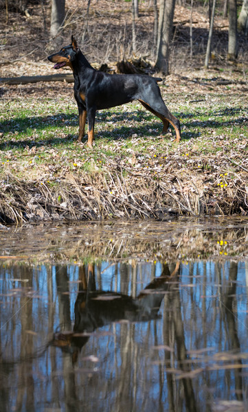 doberman standing by water Stock photo © willeecole